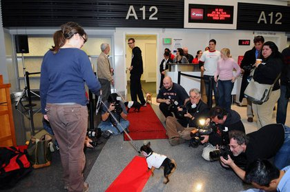 Chihuahua pups are escorted down the red carpet to board a Virgin America flight from San Francisco International Airport (SFO).