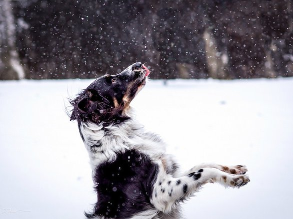 Dog getting sandblasted by vicious snowflakes