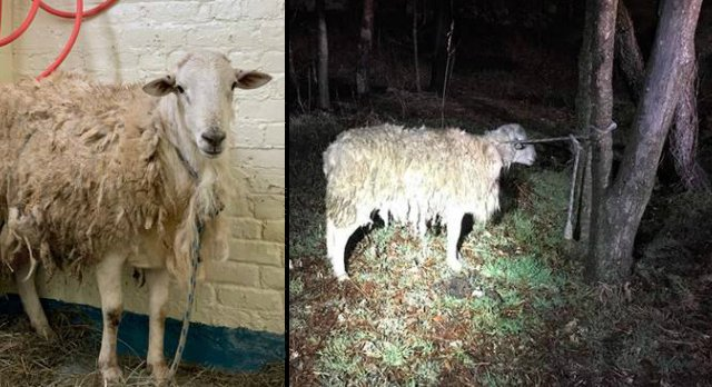 Soaking Wet Sheep Rescued After Being Found Tied To Tree In Brooklyn - Gothamist