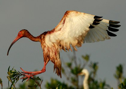 An oiled White Ibis lands at an unnamed island in Barataria Bay off the coast of Louisiana.