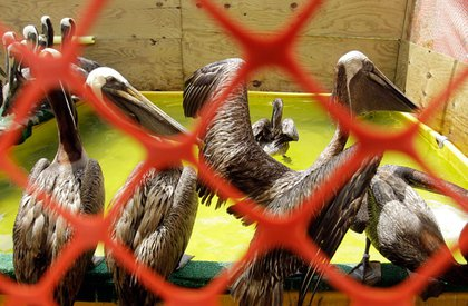 Brown pelicans recently cleaned of oil from the Deepwater Horizon spill are seen in a holding area at the International Bird Rescue Research Center.