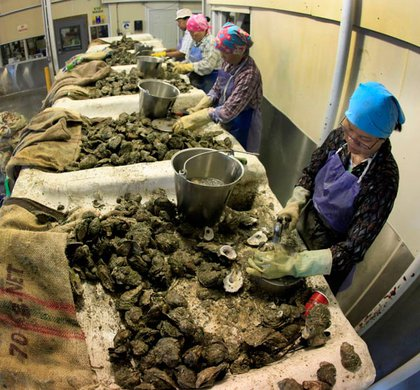 Workers shuck oysters at P&J Oyster Co. in New Orleans Thursday, June 10, 2010. Work is coming to a halt at the 134-year-old establishment after oyster beds were closed because of the Deepwater Horizon oil spill.