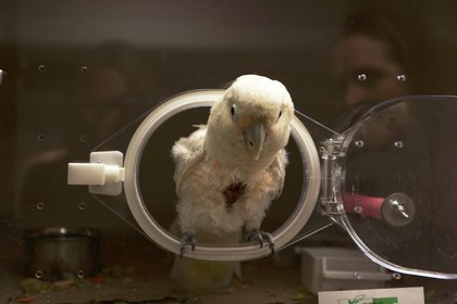 A self-mutilating Goffin's cockatoo peeks its head out of its enclosure.<br/>