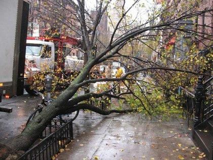 A fallen pear tree on Montague Street.
