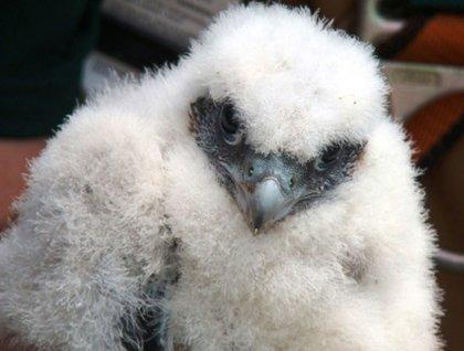 Bouncing baby boy falcon chick born atop the Throgs Neck Bridge.