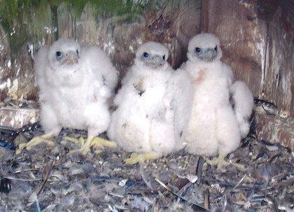 Trio of peregrine chicks in their nesting box at the top the Verrazano-Narrows Bridge.