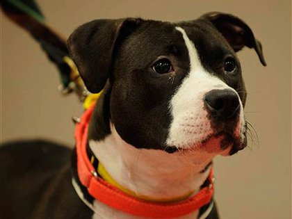 There were too many stories about animal cruelty and abuse, but one incident that struck a tragic note was that of Oreo, a young pit bull mix.  She was allegedly thrown off a six-story Brooklyn building by her owner. Her legs were shattered and the ASPCA, which charged the owner, worked to rehabilitate her—until announcing three months later that she would be euthanized because she was deemed impossible to control.  The ASPCA was blamed and defended as a law was proposed to allow rescue groups help save aggressive animals from euthanasia.