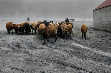Farmers rescue cattle from exposure to the dust in Iceland