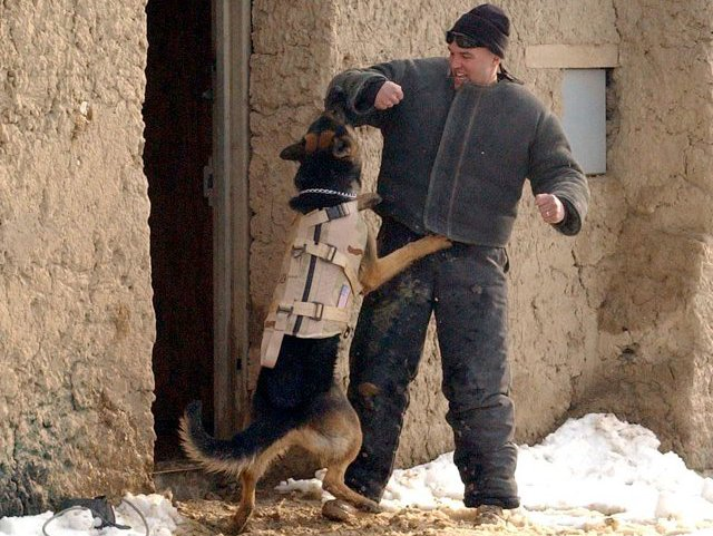 A war dog, most likely not the one in question, trains in Afghanistan