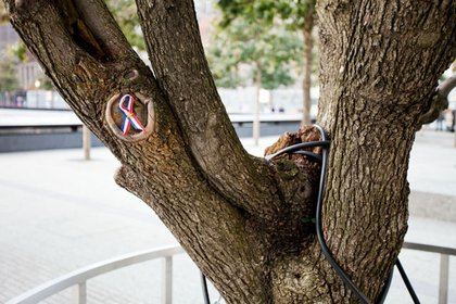 A closeup of the survivor tree, with a ribbon.