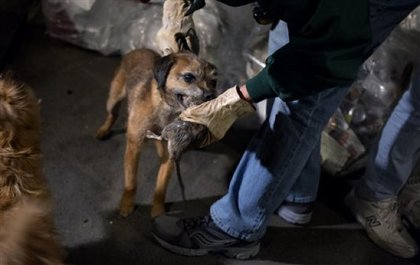 This is Tanner, a border terrier—he's a stone-cold rat killer