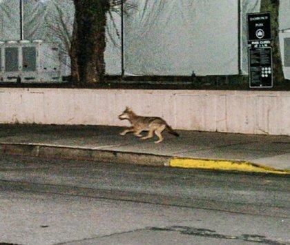 Enhanced photograph of coyote near Damrosch Park