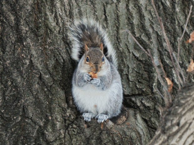 Photograph of a squirrel in Prospect Park Steve Severinghaus / Flickr