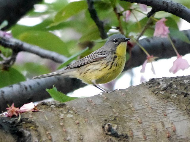 Rare Sighting Of Kirtland's Warbler In Central Park Sends