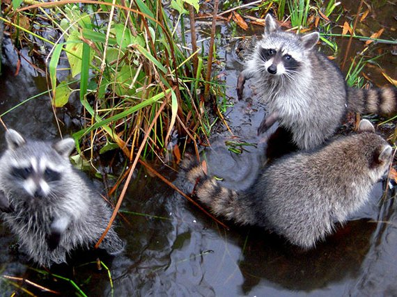 Photograph of raccoons in the park by Edgar Zuniga Jr. / Flickr