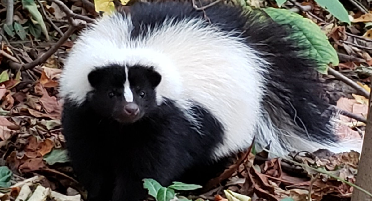 Photos: Prospect Park Alliance Says This Is Their First-Ever Recorded Skunk