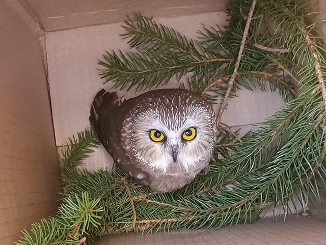 Rockefeller Christmas Tree 2020 Scaffolding This Owl Wasn't The Rockefeller Center Tree's First Feathered