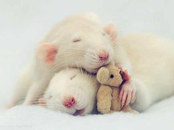 Картинки по запросу мыши компаньоны