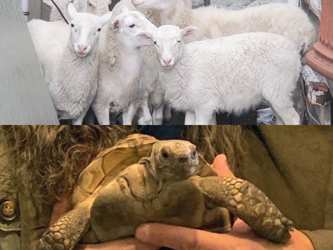 A flock of young sheep huddled in the rear yard of a Brooklyn home. Meantime, Doris the tortoise is back home in Brooklyn.