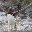 "The duck in flight on Tuesday. (Photo by Dennis Newsham of <a href=""http://twitter.com/TouristPicsNYC"">TouristPicsNYC</a>)"