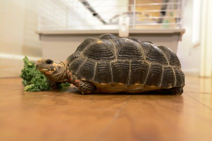 Red, a rescued Red Foot Tortoise snacks on lettuce<br/>