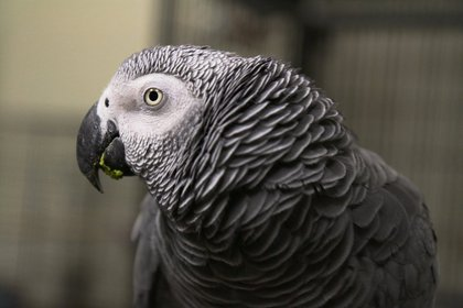 Sammy the African Gray Parrot<br/>