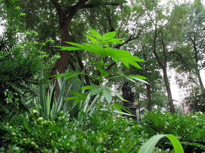A marijuana plant growing tall and proud in Union Square park in 2010.