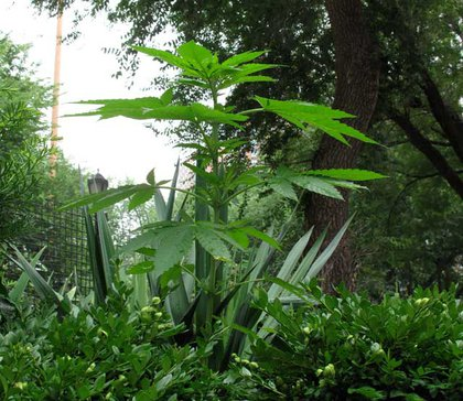 A marijuana plant growing tall and proud in Union Square park.