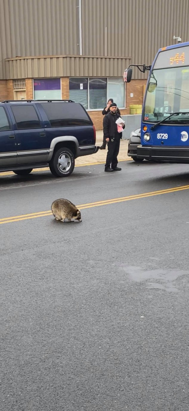 Staten Island Raccoon Just Wanted To Ride The Bus