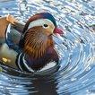 "The duck on Thursday morning. (Photo by <a href=""https://twitter.com/alexcritelli7/status/1058035932484562944"">Sandra Critelli</a>)"