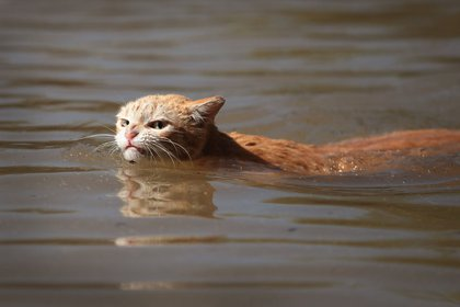 A cat tries to find dry ground around an apartment complex after it was inundated with water following Hurricane Harvey on August 30, 2017 in Houston, Texas<br>(Getty Images)