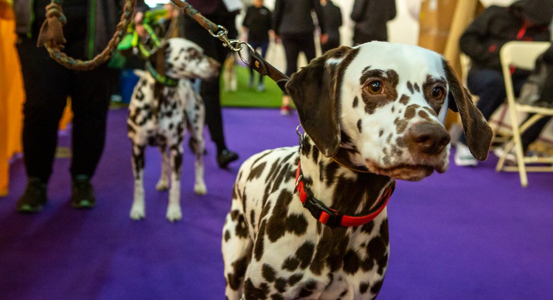 Photos: Look Upon The Dogs Of Westminster Dog Show 2020, Ye Mighty, & Be Delighted!