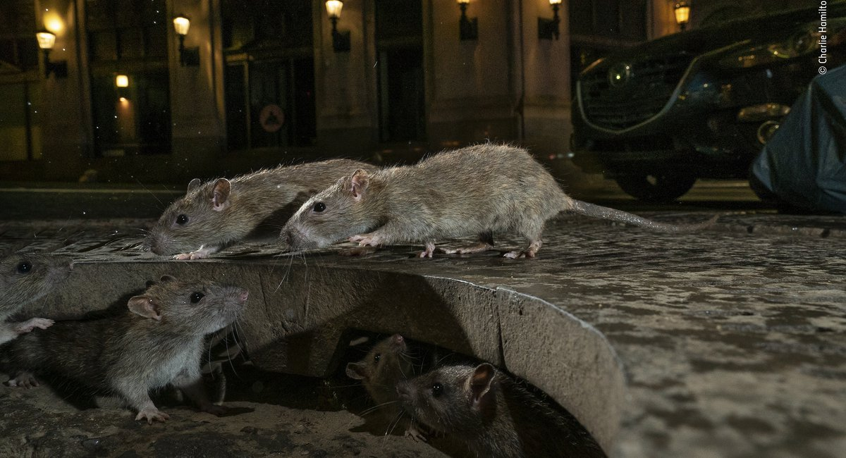 Spectacular Street-Level Photo Of NYC Rats Wins Urban Wildlife Photography Award