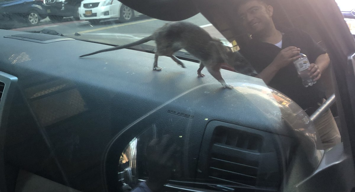 Meet Car Rat: The Rat That Just Really Loved This Car