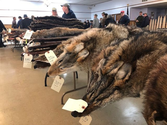 Coyote pelts at a fur auction in Herkimer, New York. On Wednesday, City Council Speaker Corey Johnson proposed banning fur within New York City.