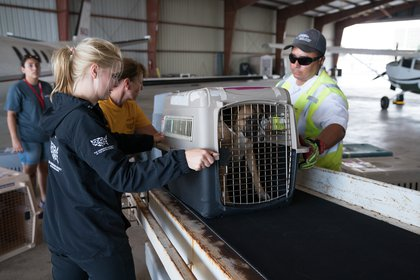 These dogs will be sent to the East Coast for adoption (AP Image for HSUS)