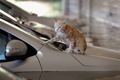 A cat sits on top of a car which is surrounded by flood water in the parking lot of an apartment complex after it was inundated with water following Hurricane Harvey.<br>