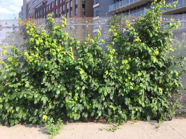 Poison ivy growing on a fence in LIC.
