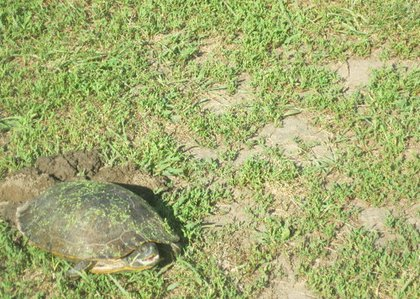The turtle exhaling before laying her first egg