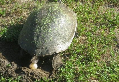 The turtle laying her first egg