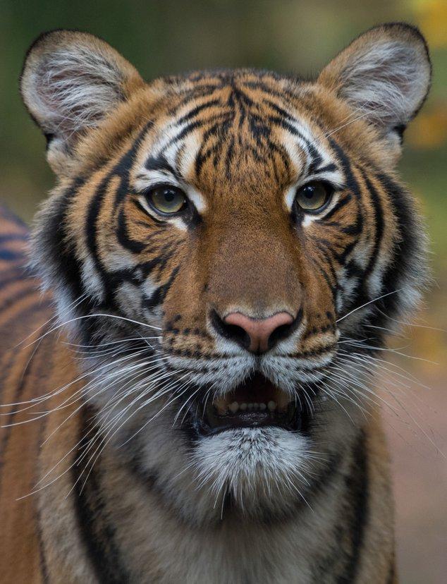 Photograph of Malayan Tiger Nadia at the Bronx Zoo